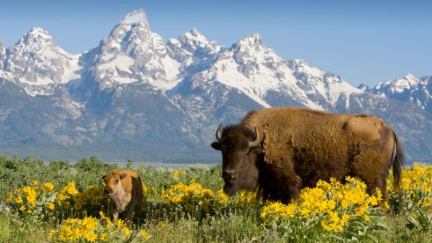 yellowstone-wildlife-buffalo-79